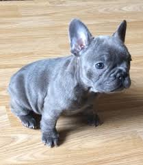 Adorable  French Bulldog puppy for sale